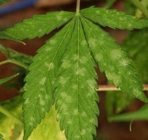 Powdery Mildew & Foliar Remedies