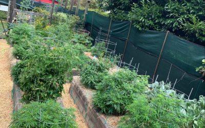 2020 Isolation Grow: Flowering Begins