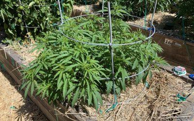 2020 Isolation Grow: Plant Progress